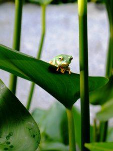 葉の上の蛙